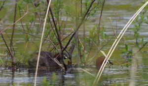 勅使池のカイツブリ170419