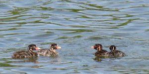 勅使池カイツブリ雛4羽
