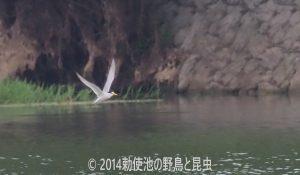 勅使池のコアジサシ170704