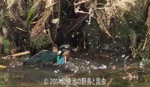 勅使池のカワセミ170622-1