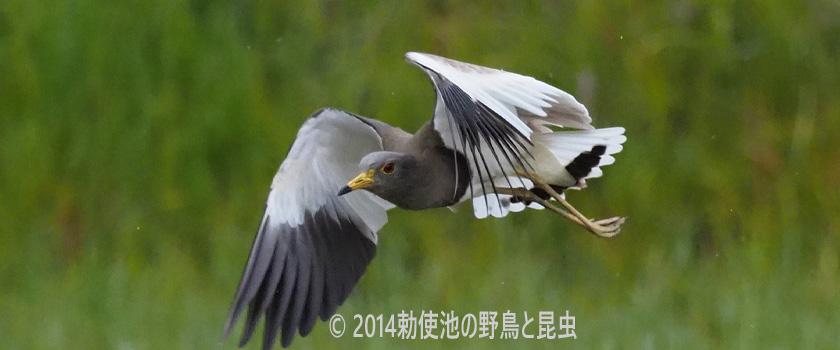 勅使池の野鳥 ケリ