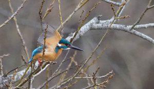 勅使池の野鳥カワセミ170214