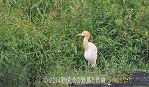 勅使池のアマサギ170811