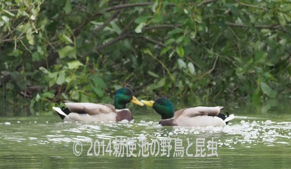 勅使池のマガモ171024