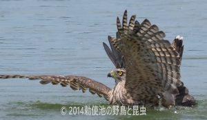 勅使池のオオタカ170708-3