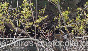 勅使池のオシドリ190414