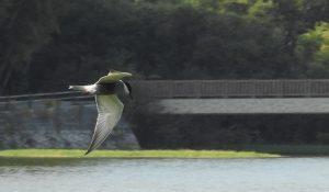 勅使池のクロハラアジサシ161027