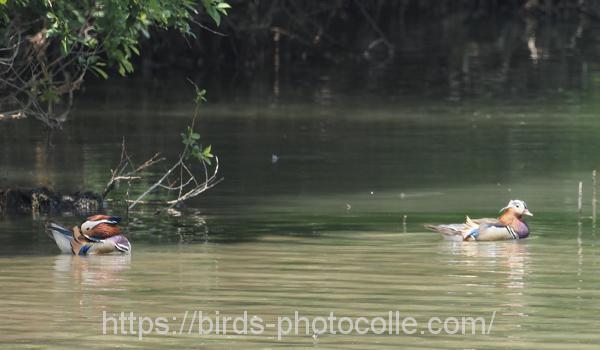 勅使池のオシドリ200608-1
