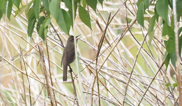 勅使池のオオヨシキリ200503