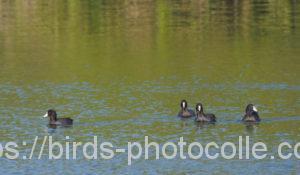 勅使池のオオバン201015