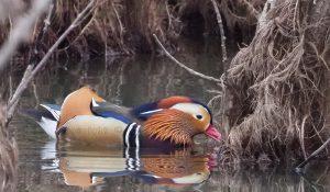 勅使池のオシドリ170325-1