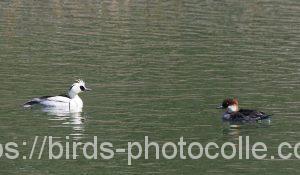 勅使池のミコアイサ190401