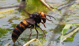 勅使池のオオスズメバチ170521