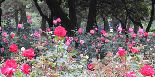 庄内緑地公園 バラ園