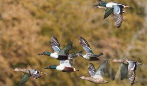 勅使池の野鳥ハシビロガモ170212