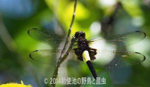 勅使池のコシアキトンボ170528