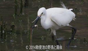 勅使池のコサギ170620-1