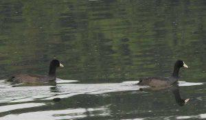勅使池のオオバン161005