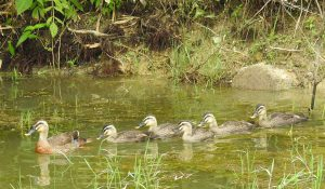 勅使池のカルガモ
