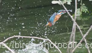 勅使池のカワセミ180731-1