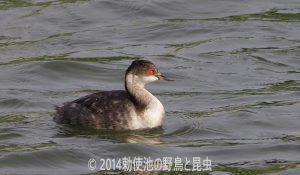 勅使池のハジロカイツブリ170913