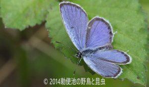 勅使池のヤマトシジミ170624