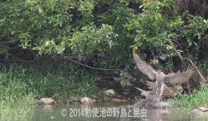 勅使池のオオタカ170729-2