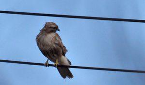 勅使池の野鳥ノスリ170221