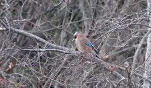 勅使池の野鳥カケス170211