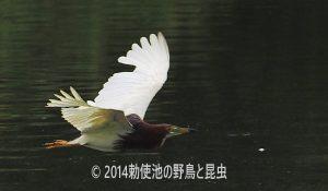 勅使池のアカガシラサギ170722