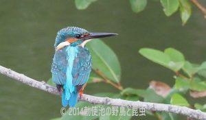 勅使池のカワセミ170930