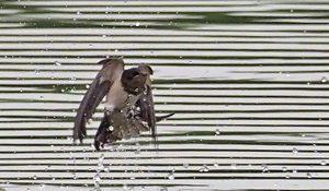 勅使池のツバメ170611