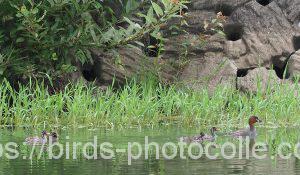 勅使池のカイツブリ190713-1