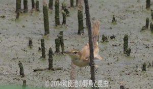 勅使池のオオヨシキリ170716