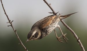 勅使池の野鳥ツグミ170211