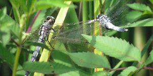 勅使池の昆虫シオカラトンボ