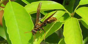 勅使公園のアシナガバチ