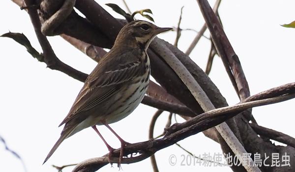 勅使池の野鳥ビンズイ170503-2