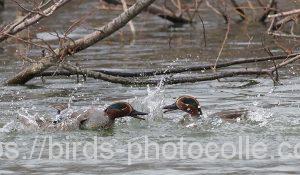 勅使池のコガモ200223