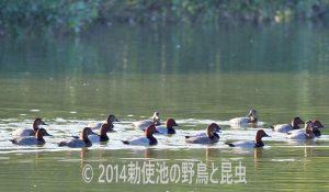 勅使池のホシハジロ171101