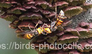勅使池のオオスズメバチ180930
