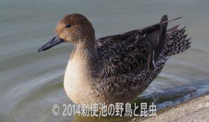 勅使池の野鳥のオナガガモ171009