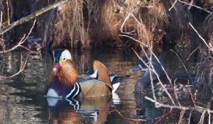 勅使池の野鳥オシドリ170212