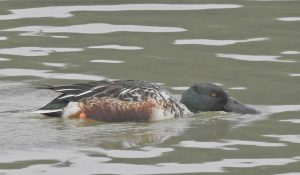 勅使池のハシビロガモ161121