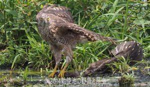 勅使池のオオタカ170706-3