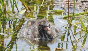 勅使池のカイツブリ幼鳥