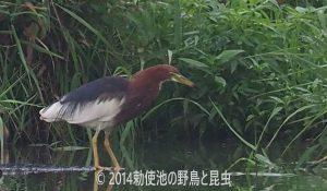 勅使池のアカガシラサギ170725-3
