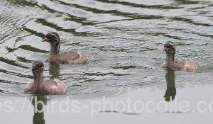 勅使池のカイツブリ190512
