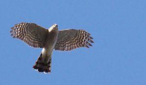 勅使池の野鳥ハイタカ170228-1