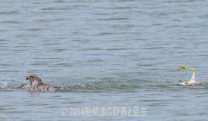 勅使池のオオタカ170708-8